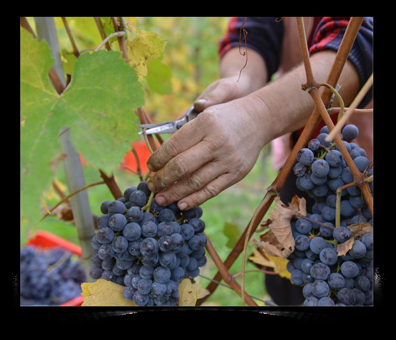 Nebbiolo-vitigno